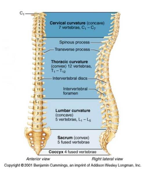 脊椎圖示輔助說明圖